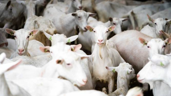 Nieuwe stal voor honderden geiten in Zelhem mag niet van Raad van State; Bronckhorst op de vingers getikt
