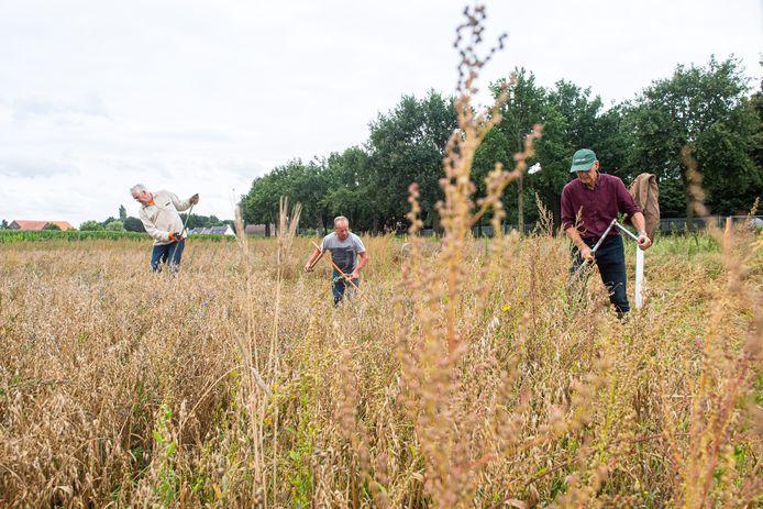 Harry Bakker, Jan Ligthart en Sjaak van Schie (vlnr) aan het werk met de zeis om haver te oogsten.