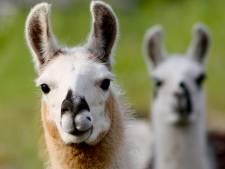 """""""Un lama belge pourrait détenir la clé pour produire un anticorps contre le Covid-19"""""""