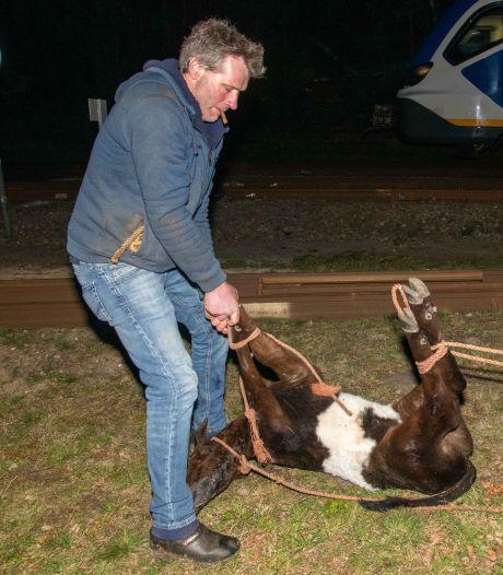 Vermist kalfje in Hulshorst is gevonden! Conducteur zet trein stil om dier te vangen