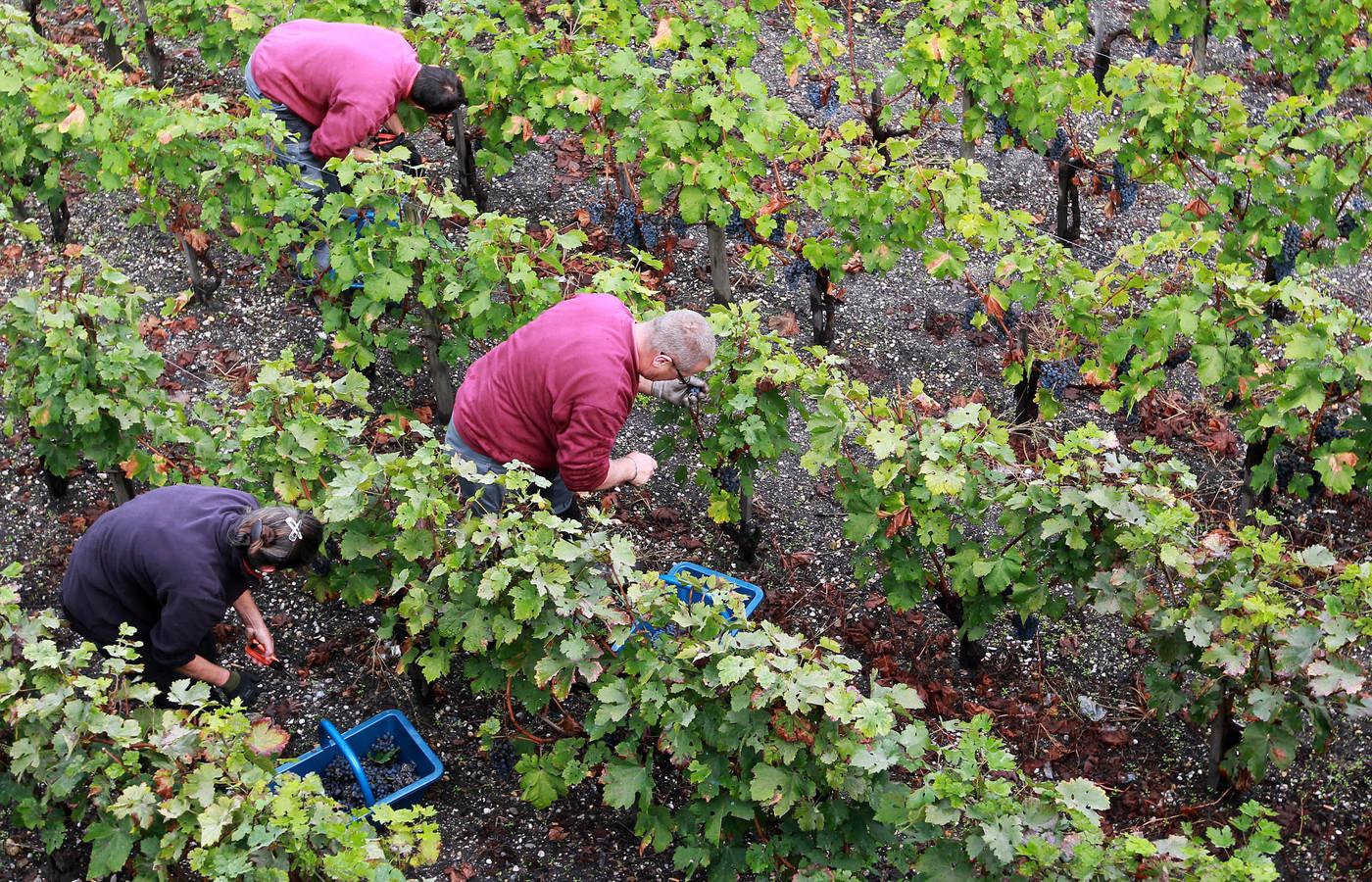 Foto ter illustratie. Rode druiven worden geoogst op een wijngaard in Frankrijk.