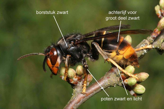 Aziatische hoornaar met de belangrijkste kenmerken aangegeven.