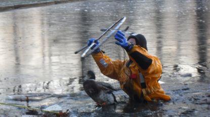 Brandweer redt vastgevroren eend uit vijver Hanssenspark