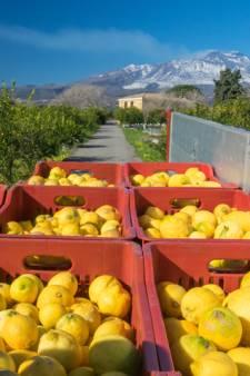 Le citron de l'Etna, une appellation désormais officielle