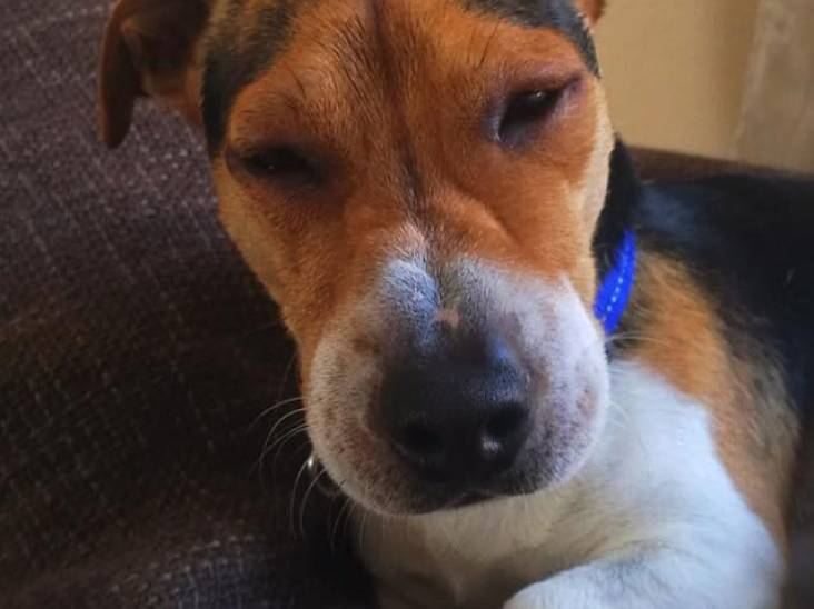 Ook honden slachtoffer van eikenprocessierups