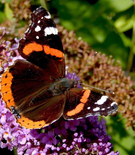 Atalanta weer de meest gespotte vlinder
