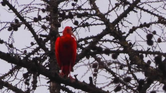 Rode Ibis gespot in natuurgebied De Liereman