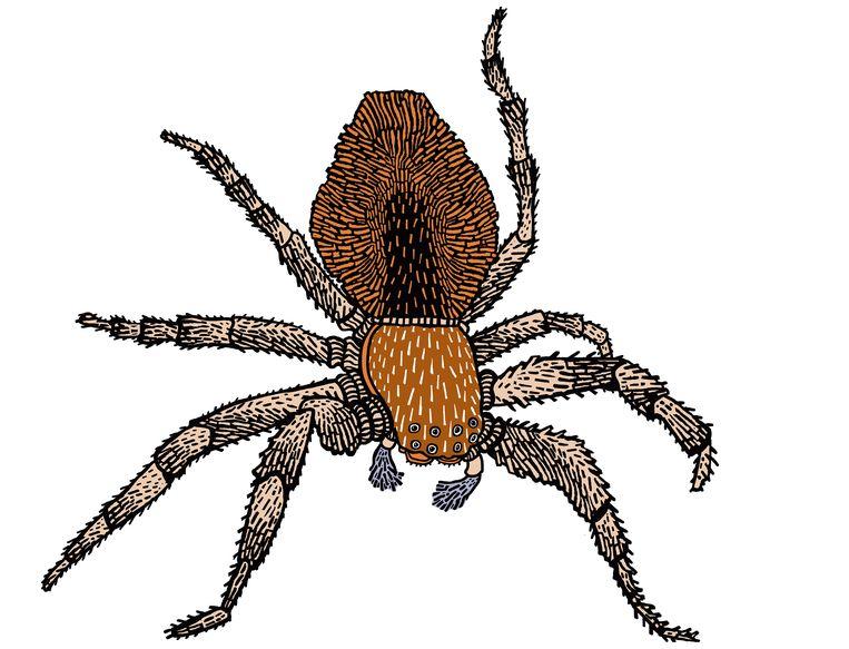 Volgens plaagdierexpert Bastiaan Meerburg komen er in Nederland 650 verschillende spinnensoorten voor. Beeld Floor Rieder