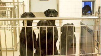 Ondanks massaal protest: zes labradors toch gedood bij dierproef in Zweden