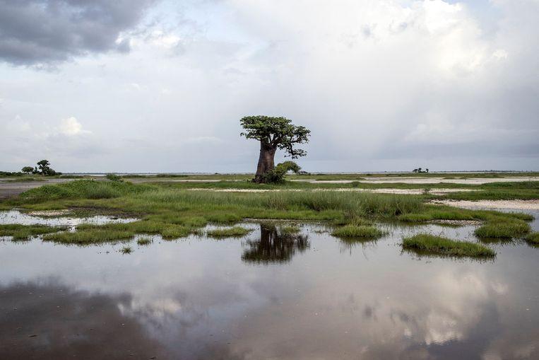 Een baobab boom in Senegal.  Beeld AFP