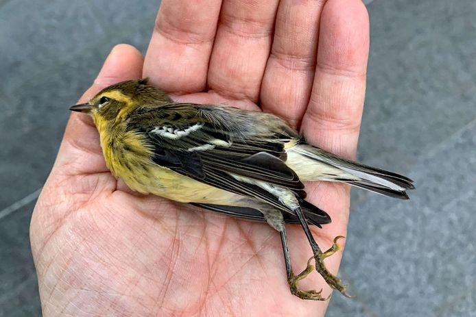 Een dood vogeltje gewonden op straat in Manhattan.