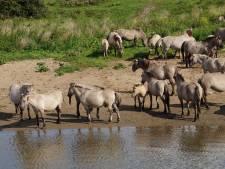 Luisteren naar de kwartelkoning, zonder koeien of paarden in de nek