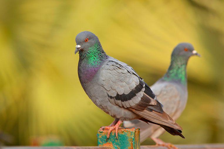 rock-pigeon.jpg