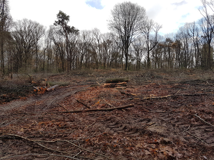 Het bos van Warnsborn achter de Karmelitessenlaan in Arnhem, na de kap van een reeks bomen.