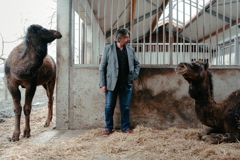 Koen Vanmechelen in zijn kunst- en dierenpark LABIOMISTAa: 'Kameelachtigen hebben een wonderlijk immuunsysteem.' Beeld Damon De Backer