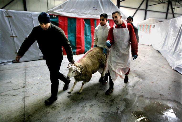 Een schaap wordt naar de slachtvloer geleid. Beeld Tim dirven