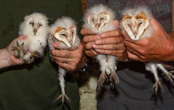 Dit jaar werden er vier kuikentjes geboren in de Blokkesmolen.