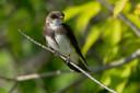 Een oeverzwaluw, zittend, zoals 'ie maar zelden wordt waargenomen. Het vogeltje vliegt het grootste deel van zijn tijd.