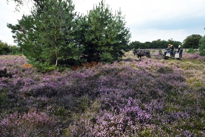 Struikheide kleurde ook deze zomer de Kampina rondom het Belversven paars, maar met de dopheide gaat het slecht.