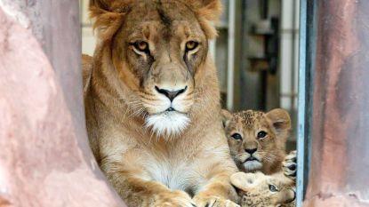 Leeuwen kijken met bier en Dua Lipa: 'adult only'-avonden in London Zoo onder vuur