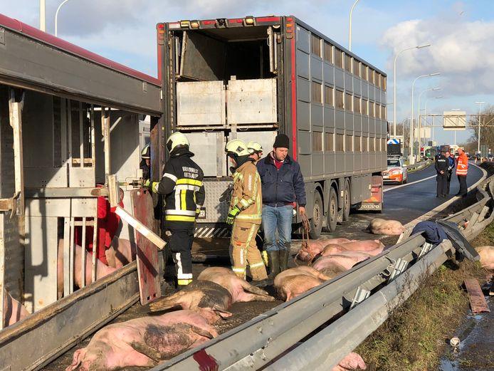 Een vrachtwagen geladen met varkens kantelde in Brugge.
