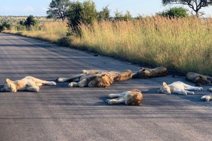 Leeuwen doen een dutje op de weg in het Zuid-Afrkaanse Krugerpark.