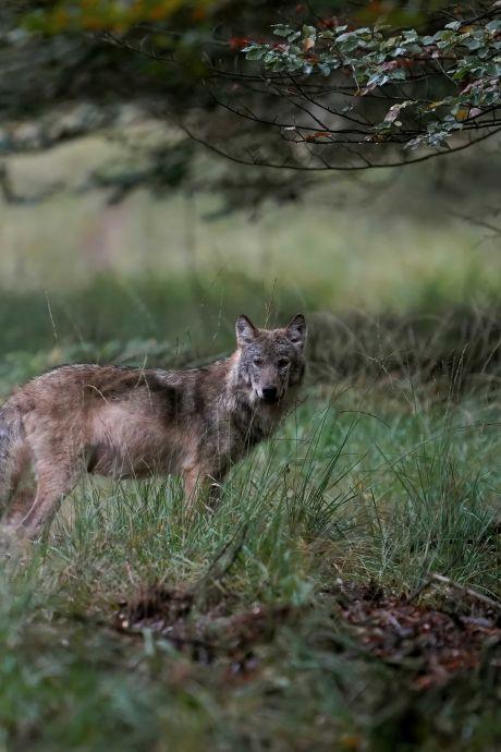 België heeft August en Noëlla, maar waarom hebben de Veluwse wolven eigenlijk geen naam?