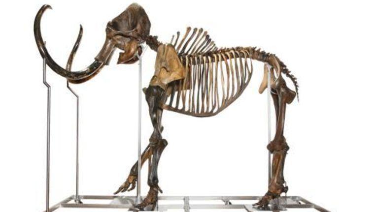 Foto van een compleet mammoetskelet, genaamd Olaf, aangeleverd door Hessink's Auctions Nijmegen. Foto ANP Beeld
