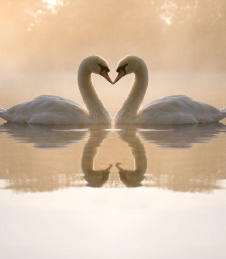Zwanen blijven soms wel 20 jaar bij dezelfde partner, maar kunnen dieren ook verliefd worden?
