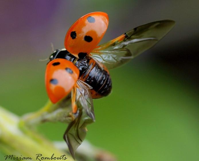 Lieveheersbeestjes zoeken een plekje voor de winterslaap