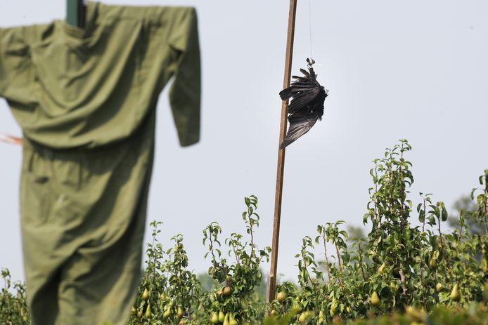 Het is een luguber gezicht, een dode kraai hangend boven een perenboomgaard in Tricht. Op deze manier proberen telers vogels af te schrikken zodat ze geen schade aan de peren aanbrengen.