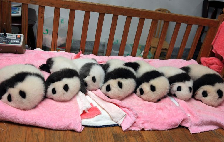 Giant panda cubs lie in a crib at Chengdu Research Base of Giant Panda Breeding in Chengdu, Sichuan province September 27, 2011.  REUTERS/China Daily (CHINA - Tags: ANIMALS) CHINA OUT. NO COMMERCIAL OR EDITORIAL SALES IN CHINA Beeld REUTERS