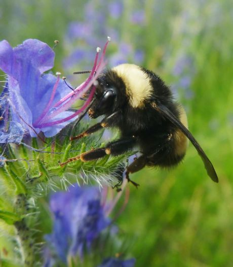 """Les abeilles et les bourdons """"accro"""" aux pesticides"""