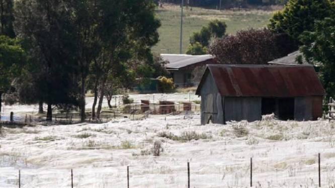 Dit is geen sneeuw, maar een wei vol spinnenwebben