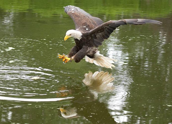 Een Amerikaanse zeearend vangt vis tijdens de roofvogeldemonstratie bij Avifauna.