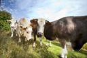 Onderzoek heeft uitgewezen dat koeien anders loeien bij de begroeting van een boer dan op het moment dat een vreemd persoon langs het weiland wandelt.