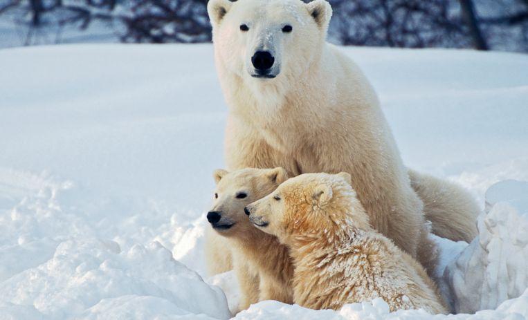 Ach, wat zoet: er is een ijsbeertweeling geboren in Brabant