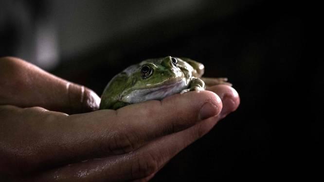 Lentetemperaturen halen amfibieën uit winterslaap: trek naar voortplantingspoelen begonnen