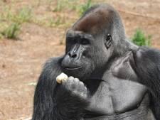 Beekse Bergen treurt om dood van blinde gorilla M'bewe: 'Hij was een iconisch dier'