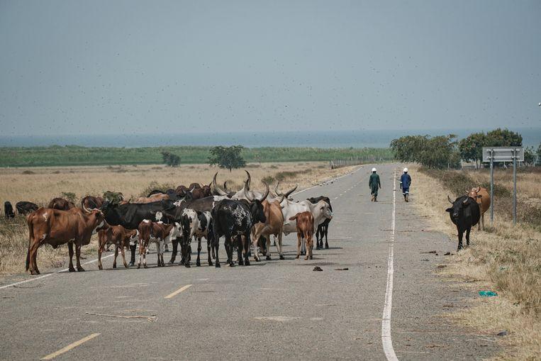 Koeien op de weg bij het kantoor van China National Offshore Oil Corporation in Oeganda, vlakbij het Albert-meer waar in 2006 veel olie werd ontdekt. De commerciële oliewinning moet nog op gang komen.  Beeld AFP