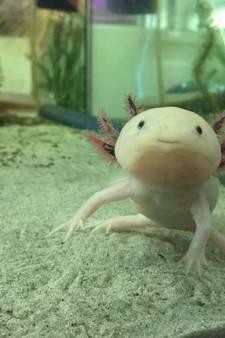 Mannetje blijkt vrouwtje te zijn, nu zit laboratorium Eindhoven met kraamkamer vol baby-axolotls