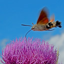 De kolibrievlinder.