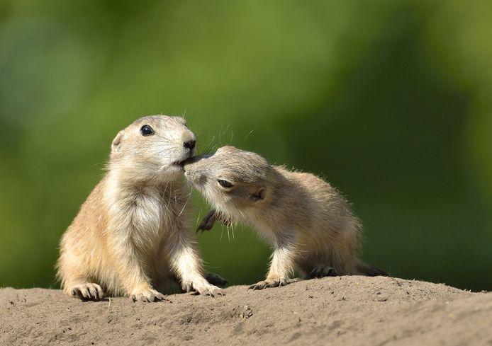 Prairiehonden eten diervoeder uit de hand van de bezoekers. Hier vraagt junior om een snack bij senior.