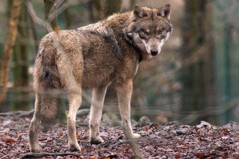 Er is na 200 jaar weer een wolf in ons land. De voorbije dagen verbleef de wolf in Beringen en in de buurt van het militaire domein in Leopoldsburg.  Beeld AFP