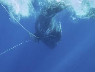 Reddingsteam bevrijdt bultrugwalvis van vishaak
