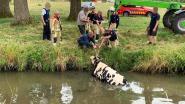 Brandweer redt onfortuinlijke koe uit Mark