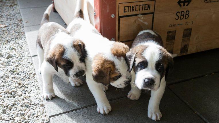 Knuffelen met studenten zou voor stress zorgen bij puppies Beeld anp