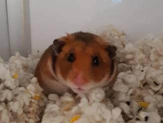 Gedumpte hamster vindt adoptiegezin