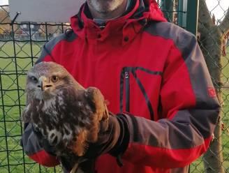 Johan (51) bevrijdt buizerd uit voetbalnet