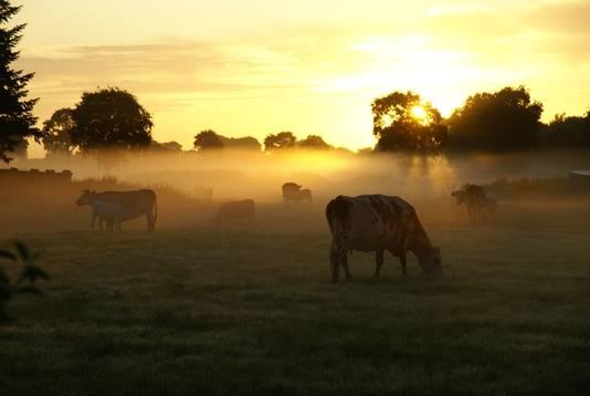 Varenguebec, Normandië. ,,Deze foto is gemaakt om 07.00 uur toen de koeien van het ene weiland naar het andere verhuisden.